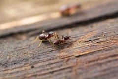 Formigas da floresta Imagem de Stock