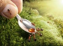 Formigas de alimentação humanas com xarope Foto de Stock Royalty Free