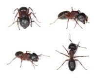 Formigas de carpinteiro, Camponotus isolado no fundo branco fotografia de stock