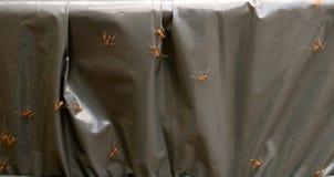 Formigas de fogo Foto de Stock