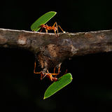 Formigas de Leafcutter Foto de Stock