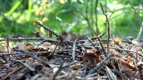 Formigas de madeira vermelhas insetos da floresta filme