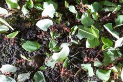 Formigas do cortador da folha imagem de stock royalty free