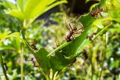 Formigas do cortador da folha imagem de stock