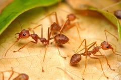 Formigas do tecelão Fotografia de Stock Royalty Free