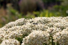 Formigas e flores Fotografia de Stock