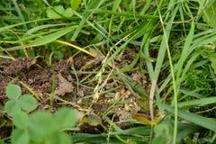 Formigas e ovos das formigas Fotografia de Stock