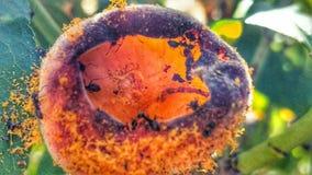 Formigas e pêssego foto de stock royalty free