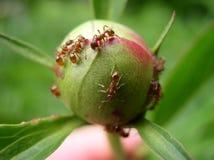 Formigas e Peony fotografia de stock royalty free