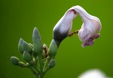 Formigas em uma flor Fotografia de Stock Royalty Free