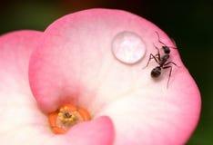 Formigas em uma flor com gotas da água Imagens de Stock Royalty Free