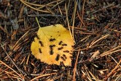 Formigas em uma folha amarela Foto de Stock Royalty Free