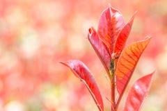 Formigas em uma planta vermelha que cultiva o piolho Imagens de Stock Royalty Free
