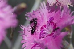 Formigas macro em uma flor Imagens de Stock Royalty Free