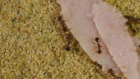 Formigas no Formicarium video estoque