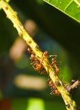 Formigas no galho foto de stock