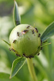 Formigas no paeonia imagens de stock royalty free
