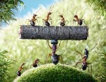 Formigas poderosas da terra arrendada de Herculeanus do Camponotus da formiga Imagem de Stock Royalty Free
