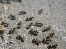 Formigas pretas Imagens de Stock
