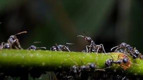 Formigas pretas do exército no ramo video estoque