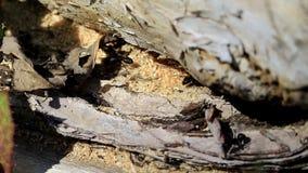Formigas pretas em um formigueiro filme