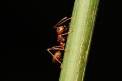 Formigas que andam em um ramo fotografia de stock royalty free