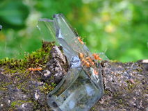 Formigas que andam no vidro cabido na parede Fotografia de Stock