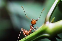 Formigas que andam nos galhos imagens de stock royalty free