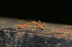 2 formigas que comunicam-se Foto de Stock
