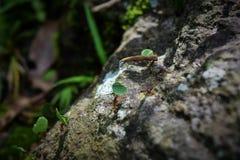 Formigas que levam as folhas na maneira a Ciudad Perdida a cidade perdida Foto de Stock Royalty Free