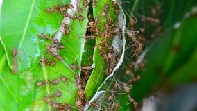 Formigas que tentam construir ninhos filme