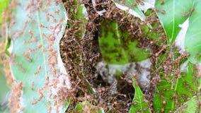 Formigas que tentam construir ninhos Nenhum som filme