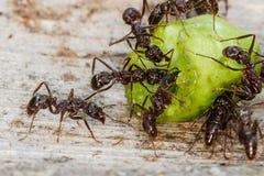 Formigas referentes à cultura norte-americana de Myrmica Fotos de Stock
