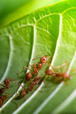 Formigas tropicais na folha Foto de Stock
