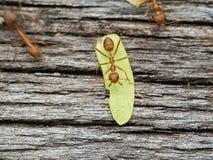 Formigas vermelhas que andam em uma ponte de madeira Foto de Stock