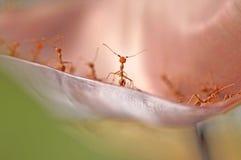 Formigas vermelhas que estão cara a cara na folha Foto de Stock