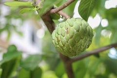 Formigas vermelhas que tendem um rebanho dos mealybugs no fruto verde verde da maçã de creme foto de stock royalty free