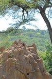 Formigueiro das térmitas sob uma árvore da acácia Imagens de Stock Royalty Free