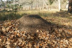 Formigueiro na floresta do outono fotos de stock royalty free