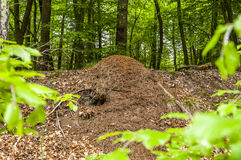 Formigueiro nas madeiras verdes Fotos de Stock Royalty Free