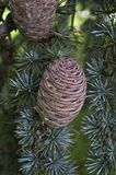 Circular pine cone. Forming oine cone exhibits multiple circular patterns in growth patterns. nature tree seed cedar coniferous tree environment forests Kreisfö Stock Photos
