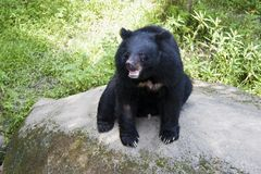 Formosa black bear,Ursus thibetanus formosanus Stock Photo