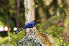 Formosa blue magpie,Urocissa caerulea Stock Photography