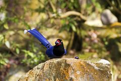 Formosa blue magpie,Urocissa caerulea Stock Photo