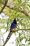 Formosa blue magpie,Urocissa caerulea Stock Image