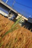 Campo de trigo dourado maduro Fotografia de Stock