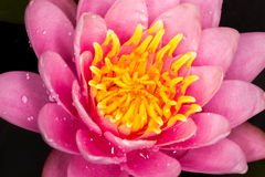 Formosa water lily Royalty Free Stock Photo