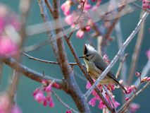 Formosa Yuhina fotografia de stock royalty free