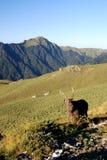 formosan βουνό sambar Στοκ εικόνα με δικαίωμα ελεύθερης χρήσης
