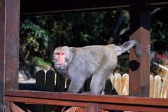 formosan βράχος macaque στοκ φωτογραφία